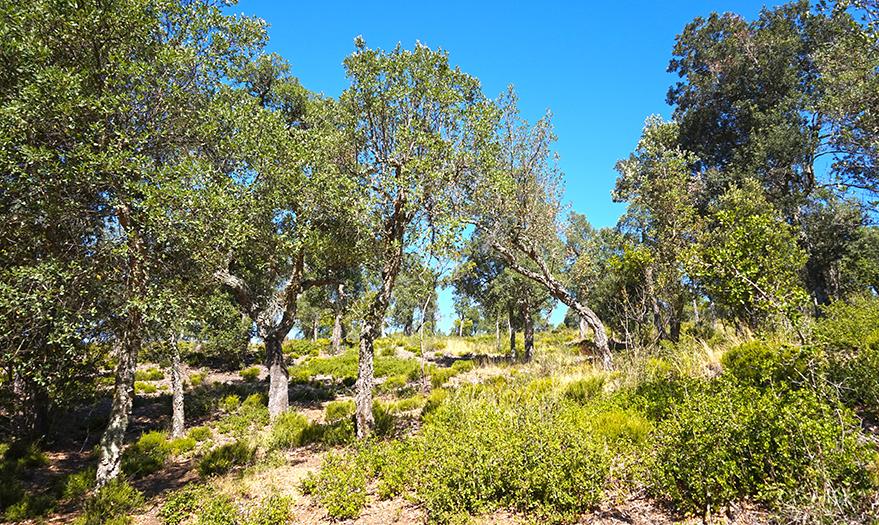 Bosc d'alzines sureres a Les Gavarres.