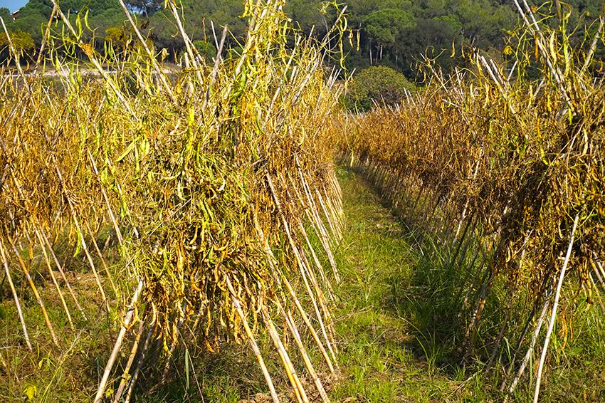 Mongeteres enfilades a les canyes. Itinerari pel Mogent. Vilanova del Vallès. Vallès Oriental