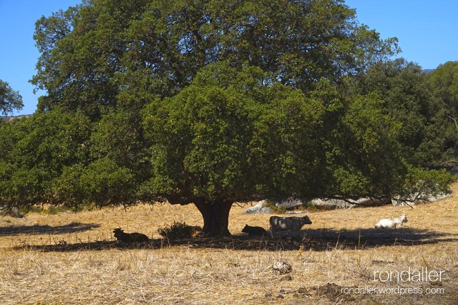 Vaques pasturant sota l'ombra d'un gran roure.